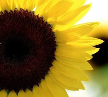 Michigan's Mayville Sunflower Festival