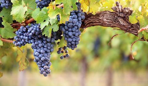 Michigan Vineyards in the fall