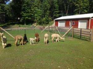 Pronking Acres Alpaca Farm in Augusta Michigan